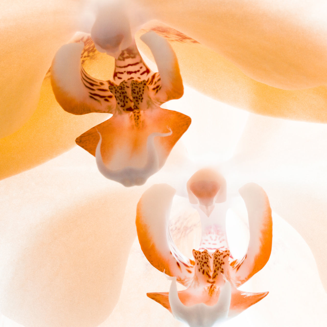 Orchid AsparagalesOrder Blooming Close-up Cropped Eukaryoter Flower Flower Head Growth In Bloom Leaf Liliopsida Macro Nature Orange Orchid Orchidaceae Part Of Petal Phalaenopsis Plant Plantae Pollen Stamens Tracheophyta