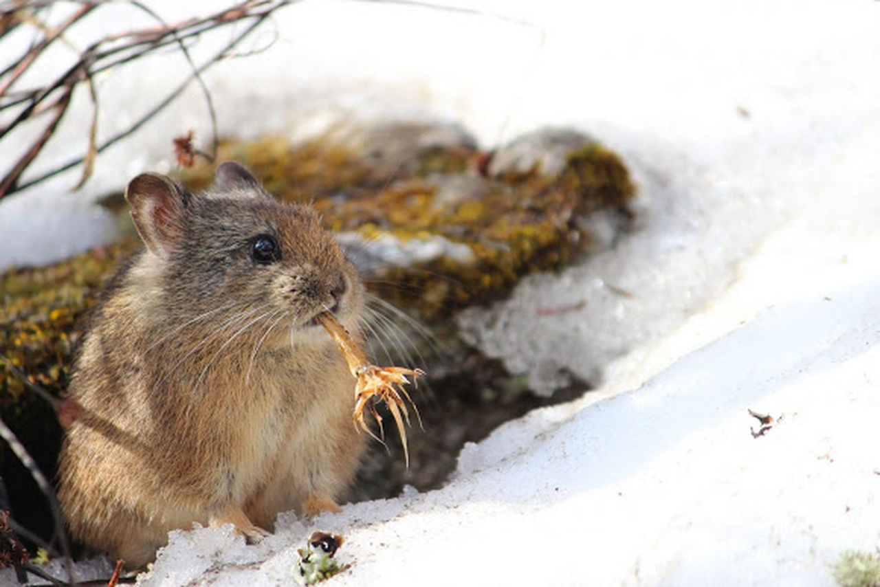 Pika Pikachu Royle's Pika Himalayas Uttrakhand Snow Burrows Chew Food Lagomorph Plant Root Cute Fluffy Cuddly Brown Nature's Diversities