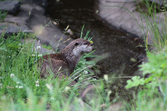 Animal Themes Animals In The Wild Day Focus On Foreground Grass Green Color Nature No People One Animal Otter Otter In River Otters Outdoors Selective Focus Wildlife Zoology