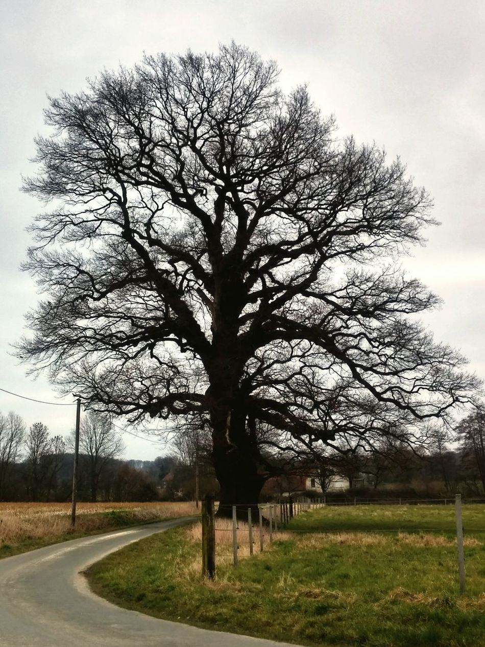 Tree_collection  Ohne Blätter 1000 Years TreePorn Papenhausen Lemgo Eiche Lippe Tree