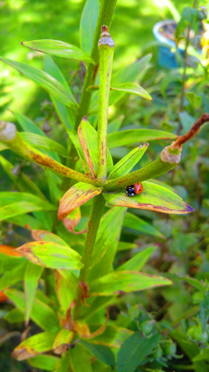 one animal, green color, animals in the wild, insect, animal themes, close-up, leaf, wildlife, plant, growth, nature, no people, outdoors, day, red, ladybug, tiny, beauty in nature
