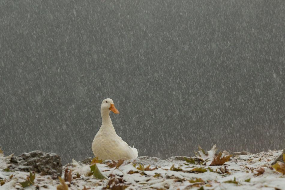 duck waddling in a snow storm Animals Bolu  Duck Lake Leaves Mountains Nature No People Outdoors Snow Snowfall Snowing Sünnet Gölü Turkey Waddling Waddling Ducks