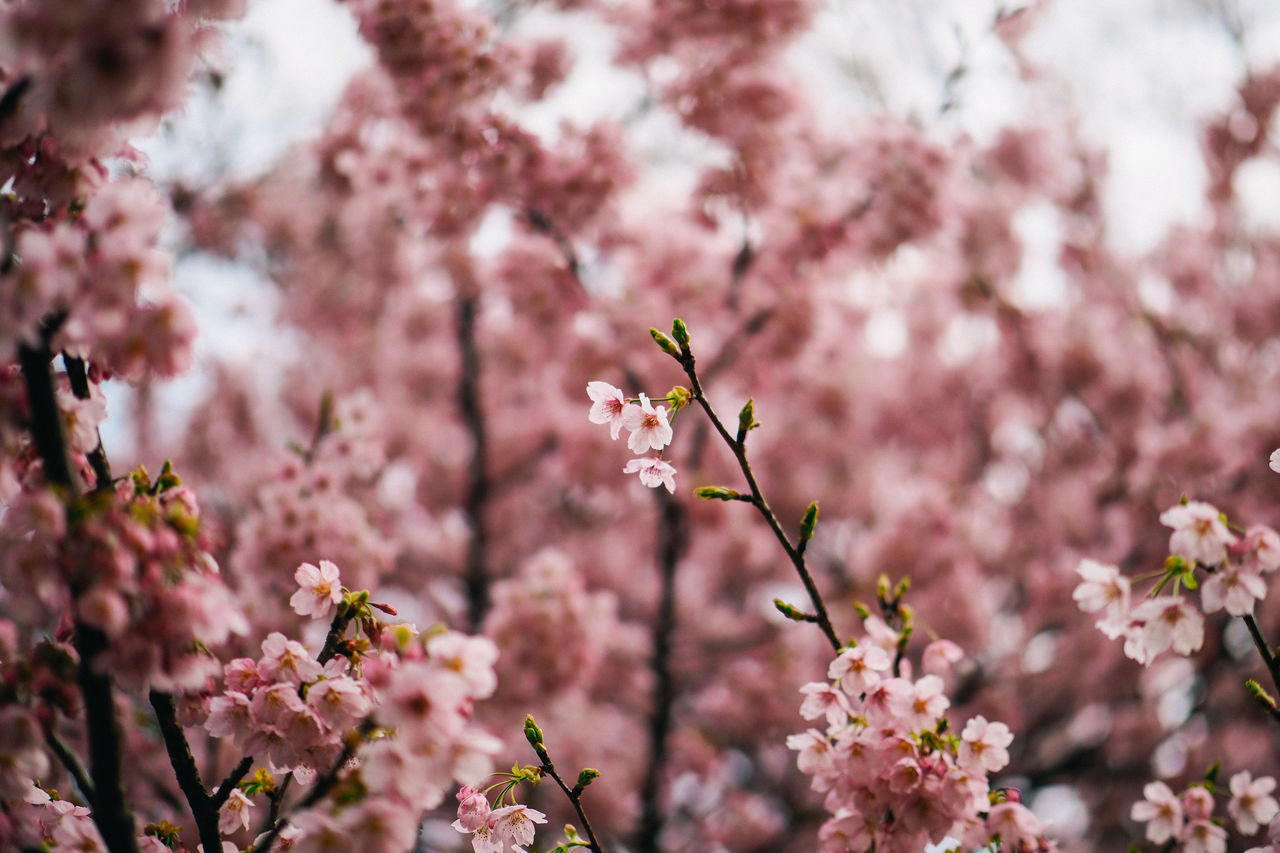 Low Angle of Cherry Blossoms in Bloom Beauty In Nature Blooming Blossom Botany Branch Cherry Blossom Cherry Tree Close-up Day Flower Flower Head Fragility Freshness Growth Japan Nature No People Orchard Outdoors Petal Pink Color Sakura Selective Focus Springtime Tree