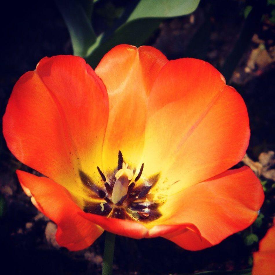Orange Tulip_gul Turuncu Turuncu_tulip flowerlove nature_photo nature rose