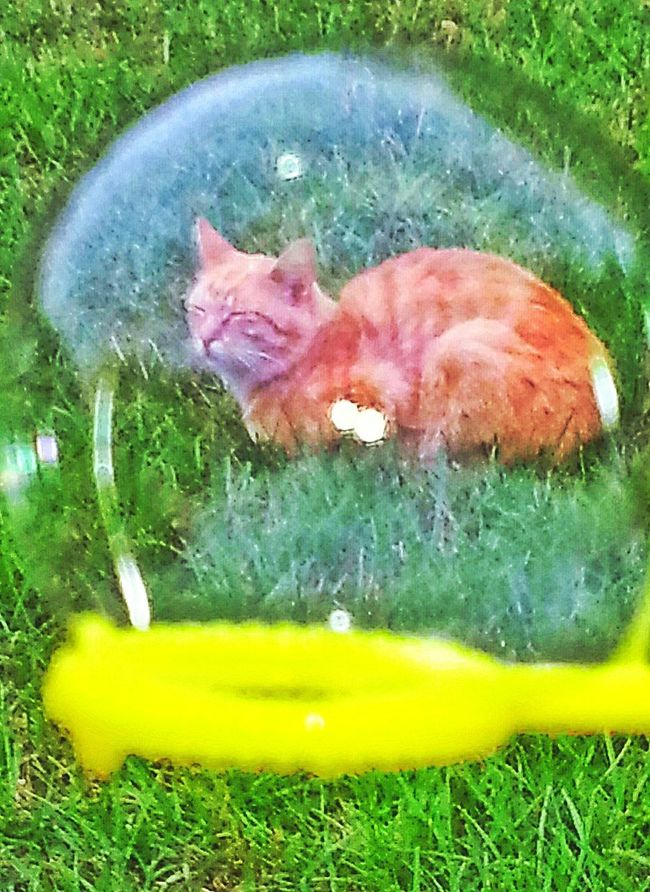 Cat Photography Cats Of EyeEm Cat In A Bubble Blowing Bubbles Cat Sleeping Orange Tabby Cat Cats Cat Lovers Animal Lovers Cat Napping Yellow Bubble Wand Bubble Shapes And Forms Green Grass Outdoor Photography Enjoying The Warm Sun The Essence Of Summer Natural Light Photo
