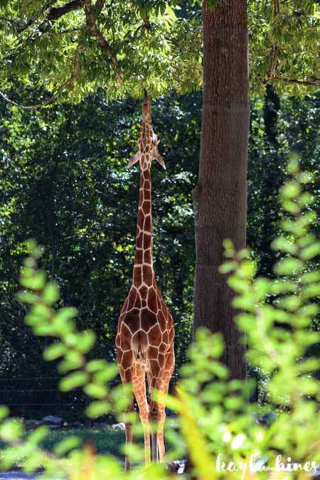 Giraffe♥ So Cute ❤ Beauty In Nature No People One Animal Outdoors Riverbanks Zoo...columbia, South Carolina Tree