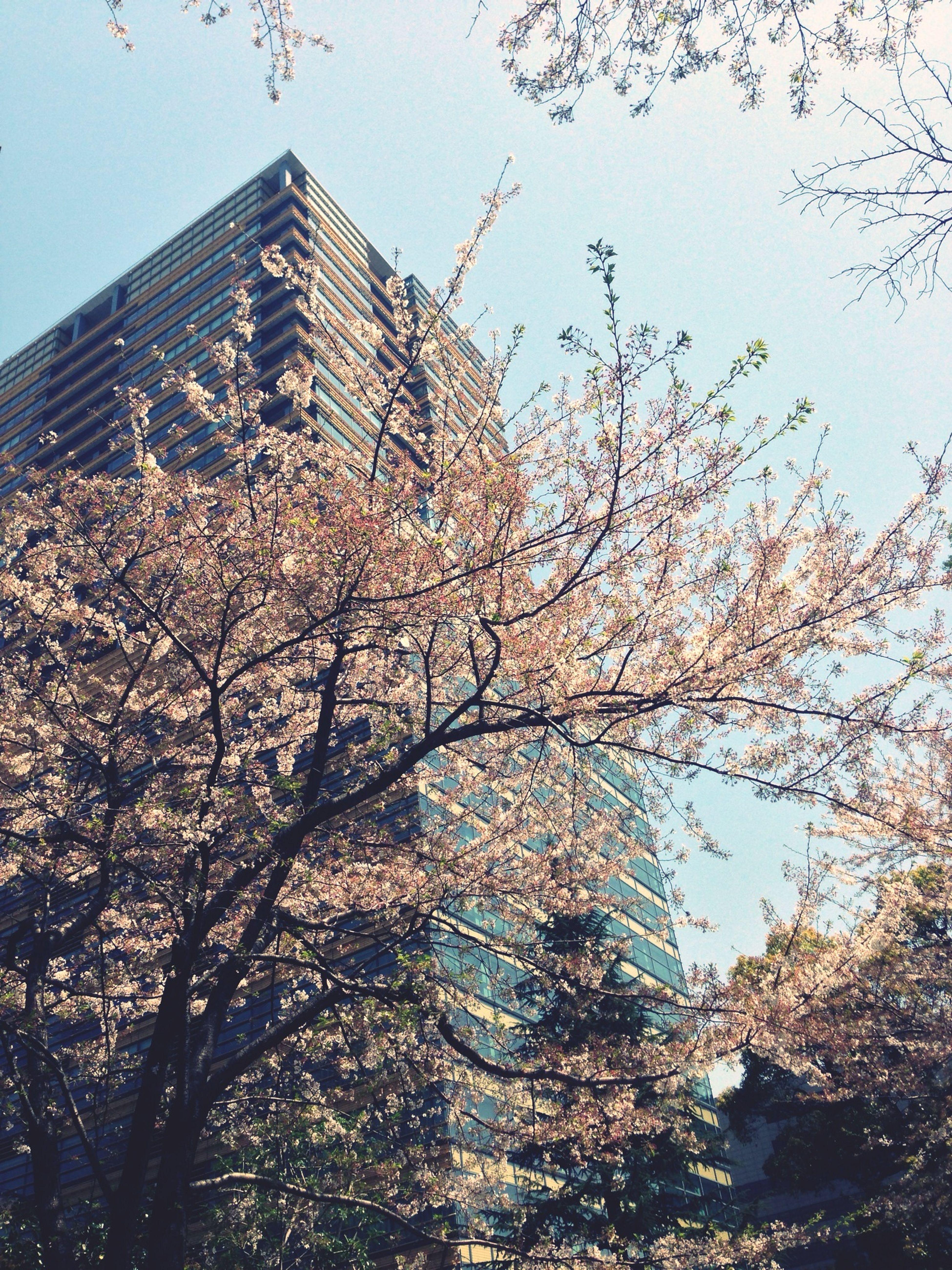 最後 Hanami Sakura Cherry Blossoms Streetphotography