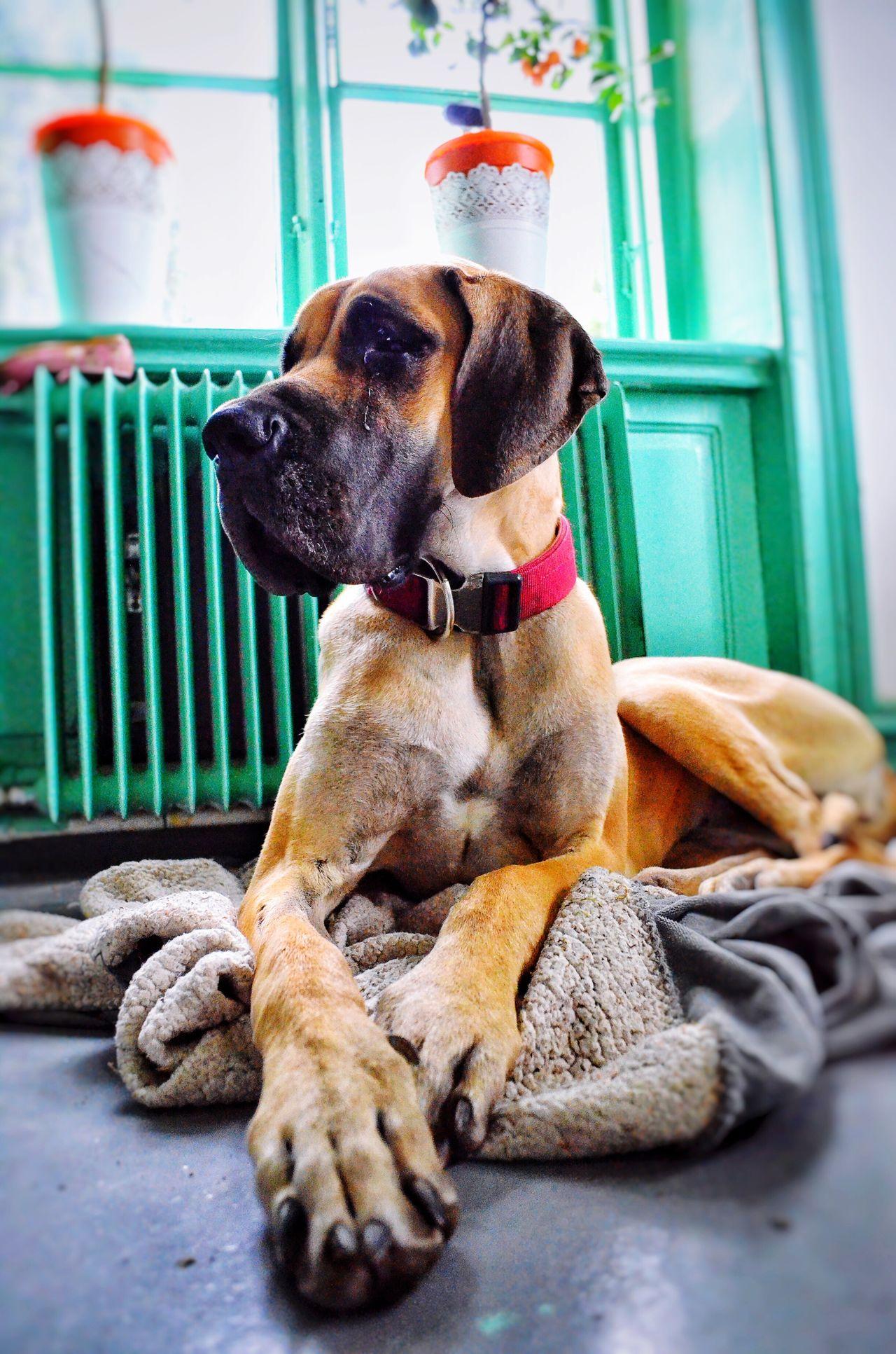 Beautiful stock photos of great dane, Animal Themes, Carnivora, Dog, Domestic Animals