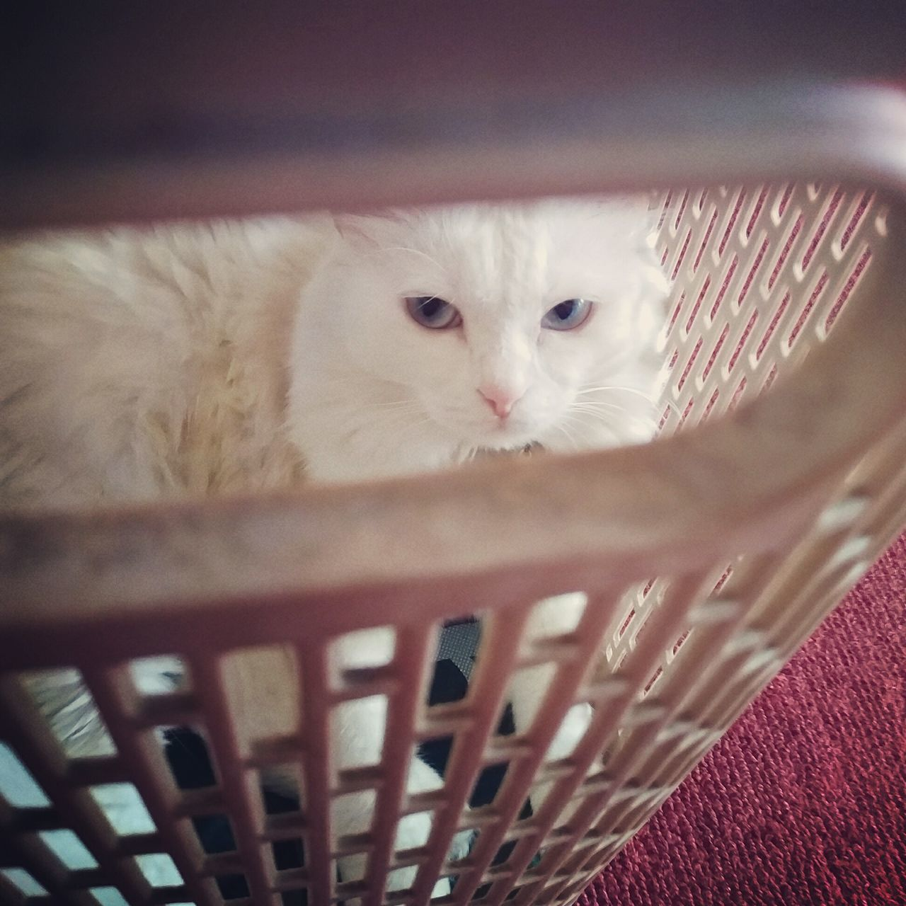 domestic cat, basket, pets, domestic animals, one animal, animal themes, feline, mammal, indoors, looking at camera, no people, portrait, kitten, close-up, day