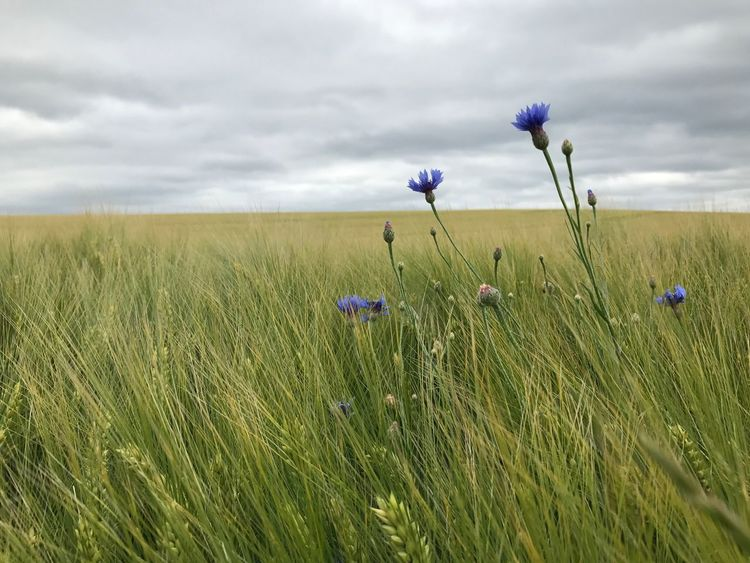 Growth Field Flower Nature Grass Cloud - Sky Beauty In Nature Plant Sky Day Green Color Outdoors Rural Scene No People Tranquility Landscape Freshness Fragility Flower Head Close-up Kornfeld Kornblume