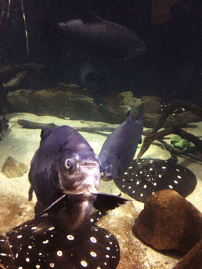 Paku Happy Fish!