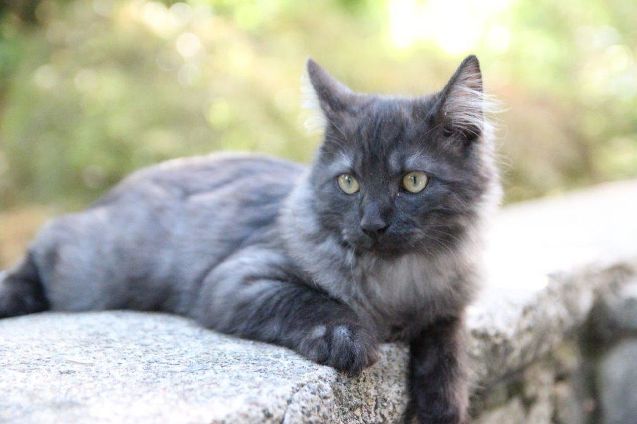 domestic cat, feline, animal themes, one animal, pets, domestic animals, mammal, looking at camera, portrait, day, focus on foreground, outdoors, sitting, no people, nature, close-up