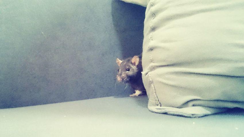 Coucou♥ Rat Love ♥ Filousse