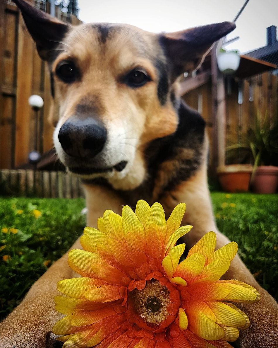 Pets One Animal Dog Domestic Animals Flower Animal Themes Looking At Camera German Shepherd Portrait Outdoors Close-up Puppy No People Mammal Beagle Fragility Flower Head Beauty In Nature Dogs Of EyeEm Dogstagram Hunde Liebe ♡ Hundeleben Hundefotografie EyeEm Best Shots - Nature Looking At Camera
