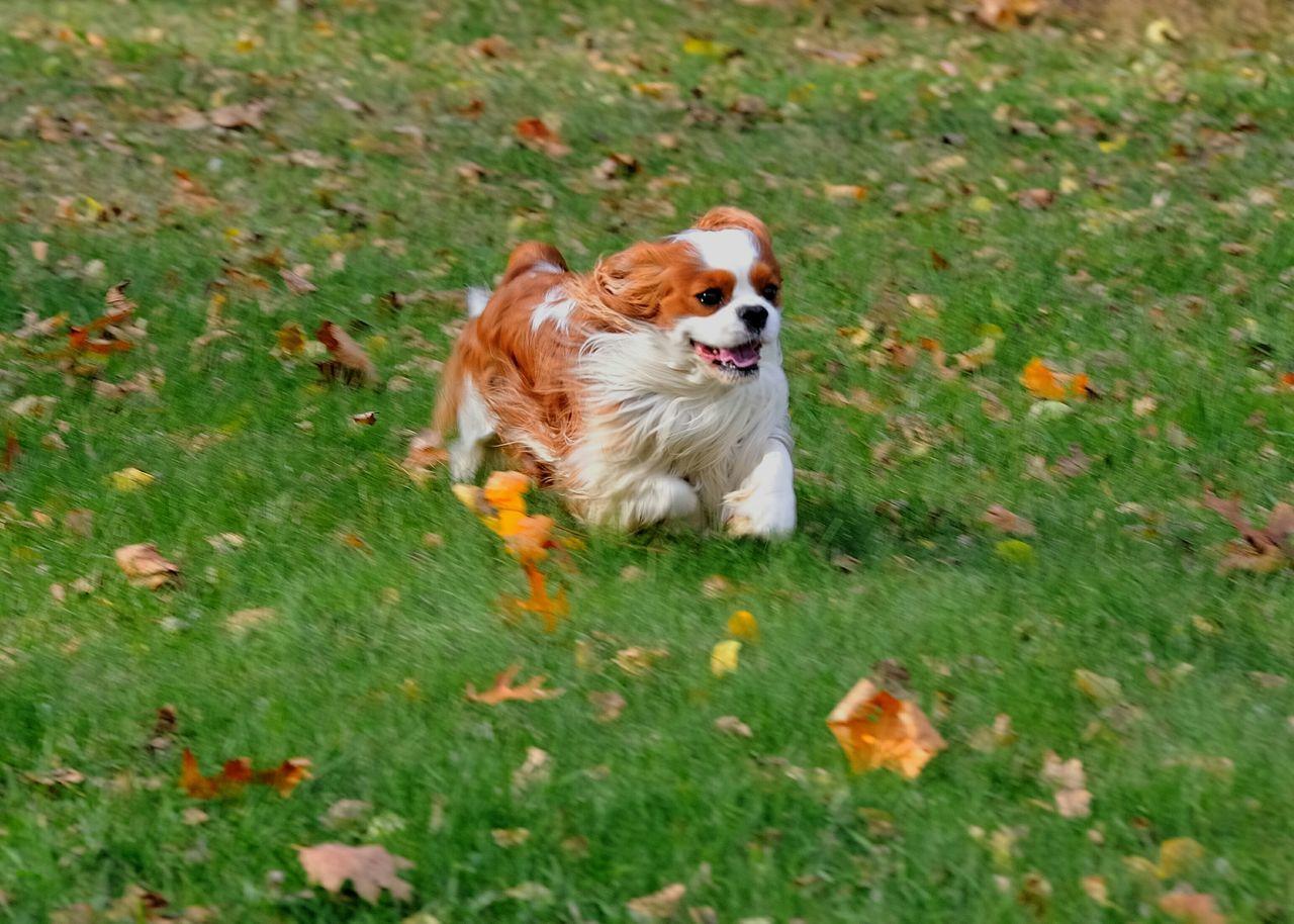 Happy Cavalier King Charles Spaniel Ckcs Enjoying Life Puppy Dog Puppy Cavalier EyeEm Best Shots - Autumn / Fall
