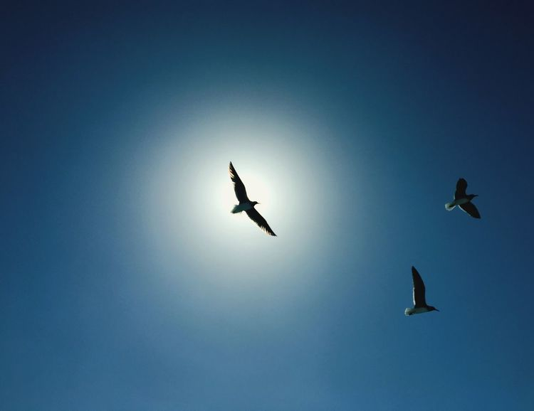 Gulls In Flight Flying Bird Animal Themes Low Angle View Animals In The Wild Blue Animal Wildlife Clear Sky Mid-air Spread Wings Nature No People Beauty In Nature Silhouette Outdoors Day Sky EyeEmNewHere