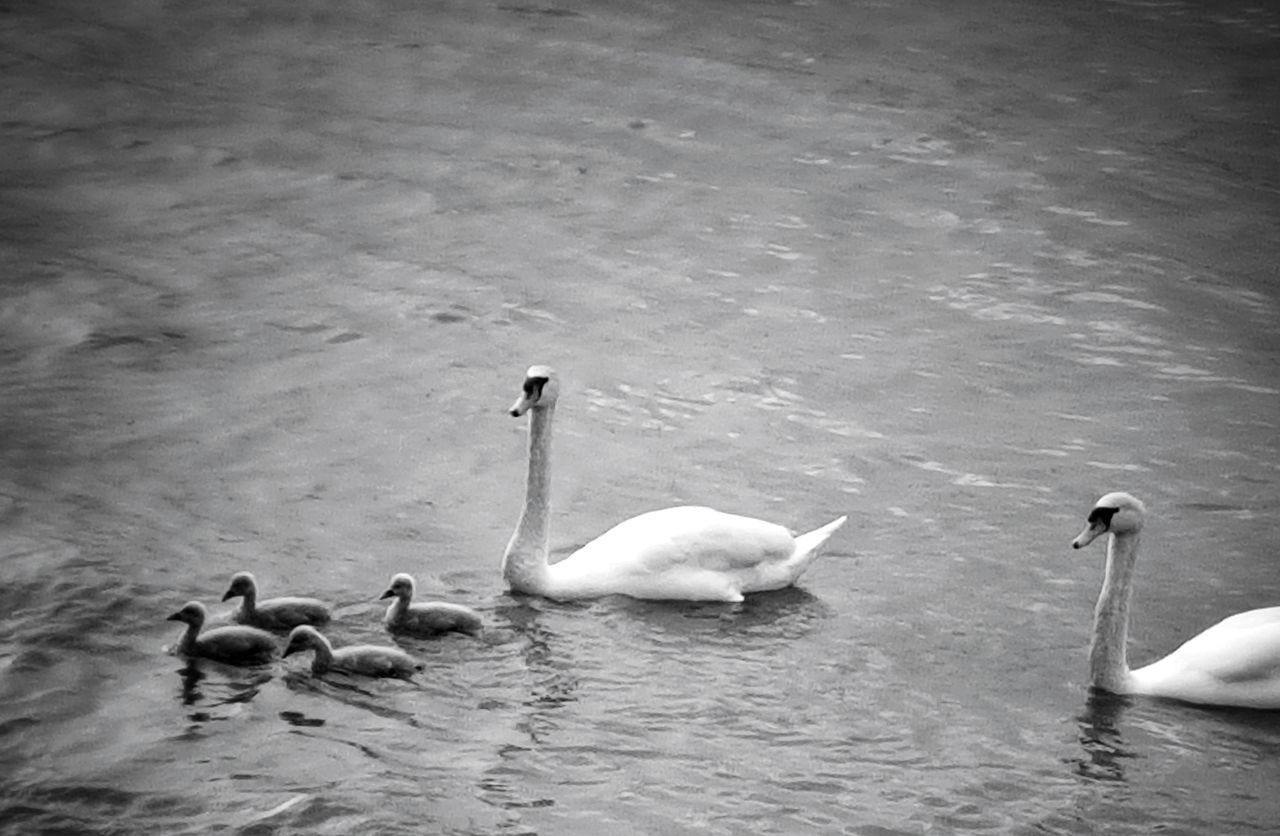 Animals In The Wild Water Animal Wildlife Animal Themes Swimming Lake Nature Outdoors Swan No People Taking Photos Beauty In Nature My Point Of View Lights And Shadows Monochrome Photograhy Monochrome _ Collection Black And White Blackandwhite Black & White Swanfamily Swans ❤ Swans Babyswan Bird Nature