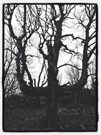 Tridents Blackandwhite IPhoneography Trees