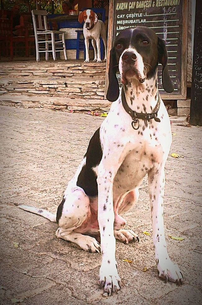 The Dog Family Pointer Dog Black & White Brown And White Animal Love Hello Word ✌ Hello Friends Dog Life Fhotografy Lover Photography Naturelovers