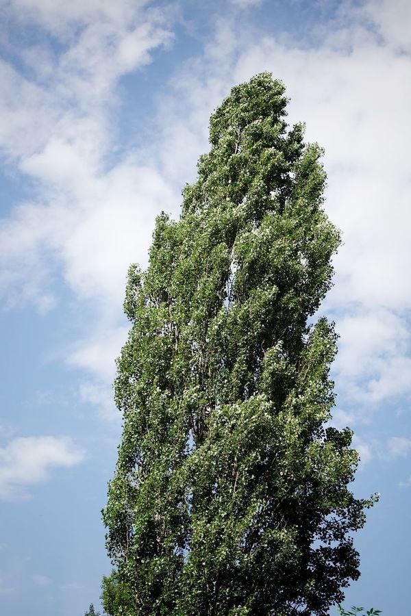 Tree summer Trees Pappelallee Summer