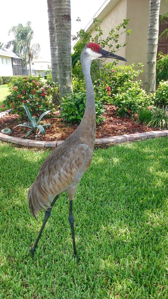 Sandcranes Of Florida, Sandcranes Florida Birds Bird Bird Photography Tall Bird Tall Birds Parrish Grass
