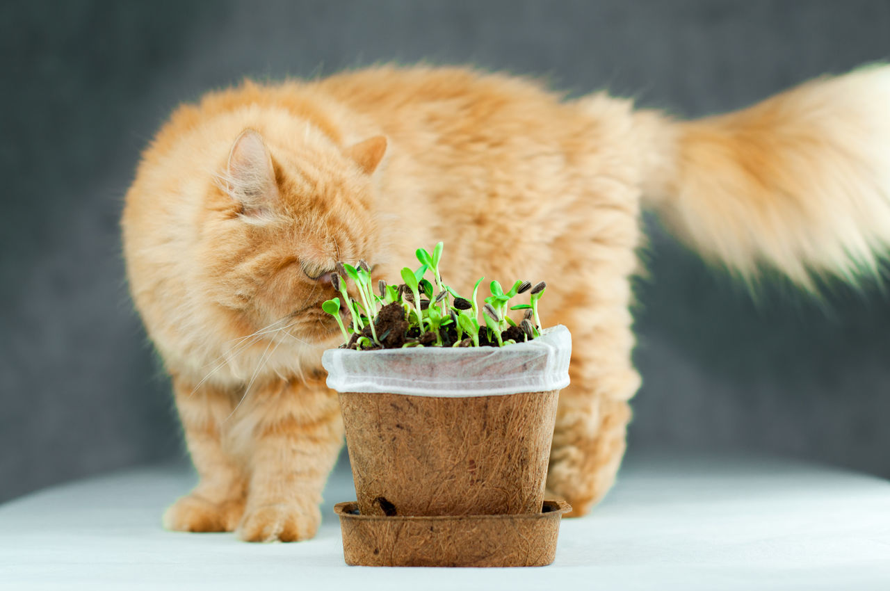 Backgrounds Botany Cat Close-up Curiosity Fluffy Fresh Freshness Gardening Ginger Growth Herbal Isolated Leaf Nature No People Organic Persian Plant Seeds Soil Sprout Sunflower Vegetable White