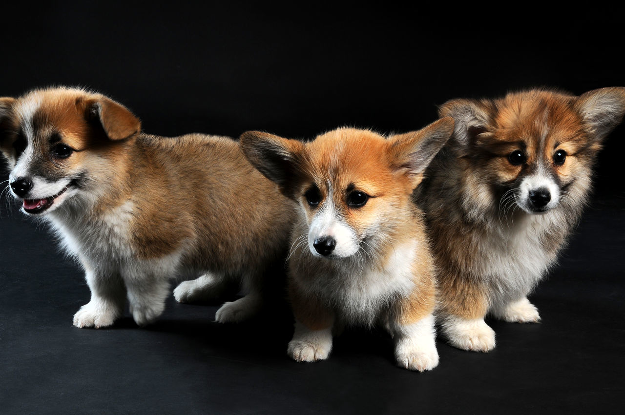 Beautiful stock photos of puppy,  Alertness,  Animal Behavior,  Animal Themes,  Black Background