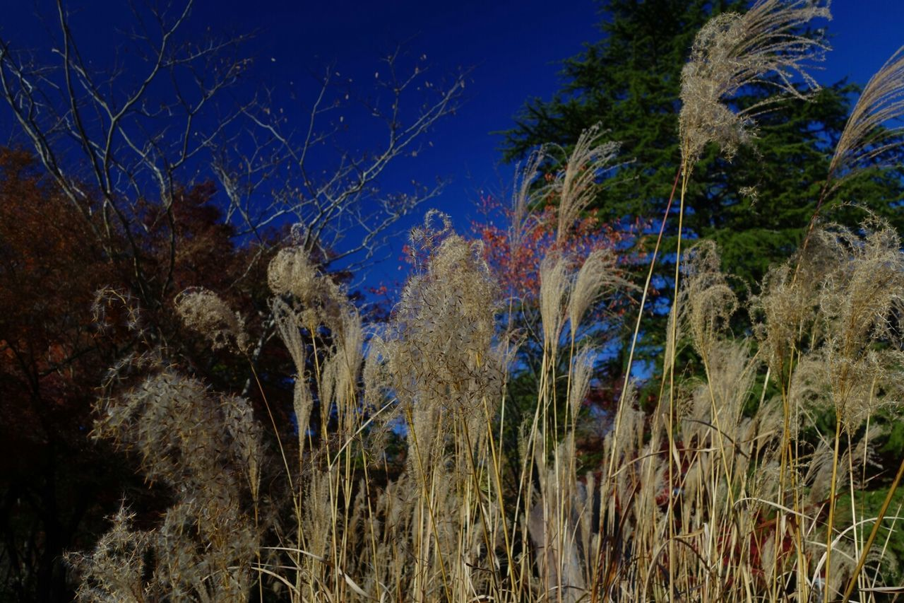 Japanese Pampas Grass Autumn Blue Sky