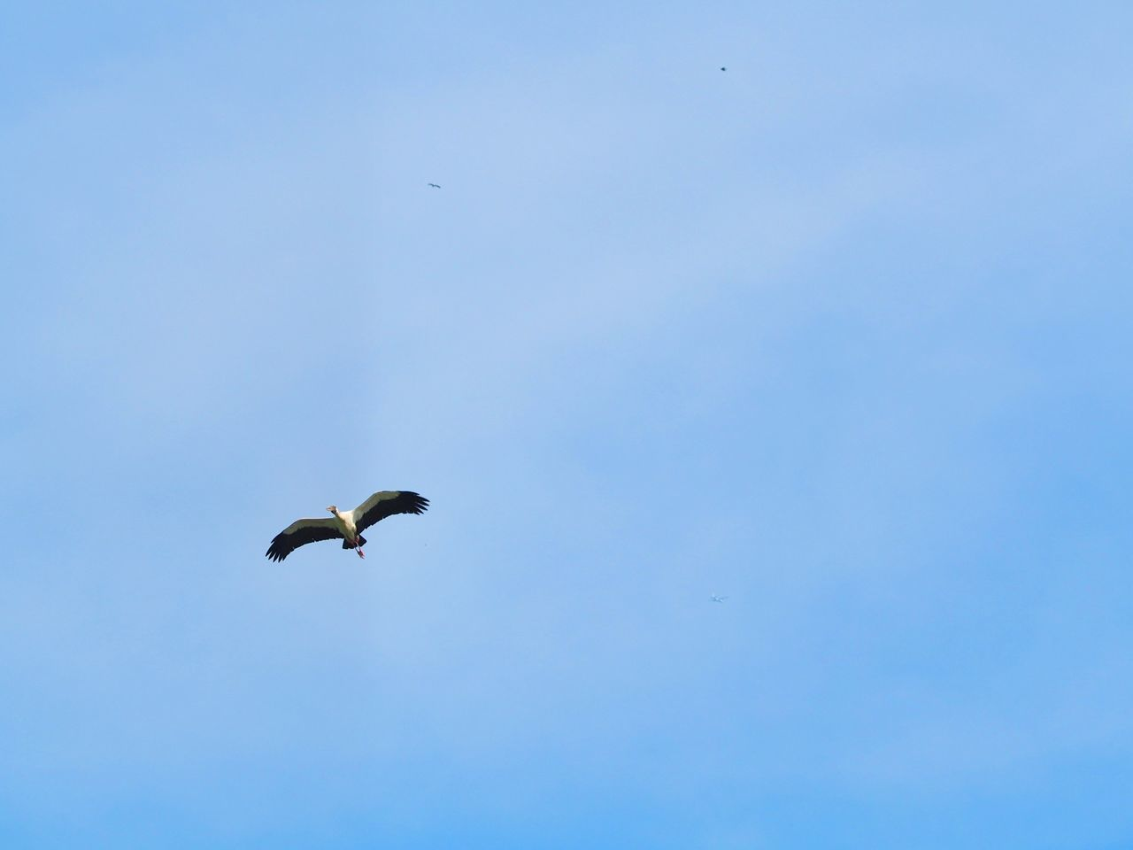 animals in the wild, bird, animal themes, flying, animal wildlife, spread wings, one animal, low angle view, wildlife, mid-air, copy space, outdoors, day, nature, beauty in nature, clear sky, no people, blue, motion, sky