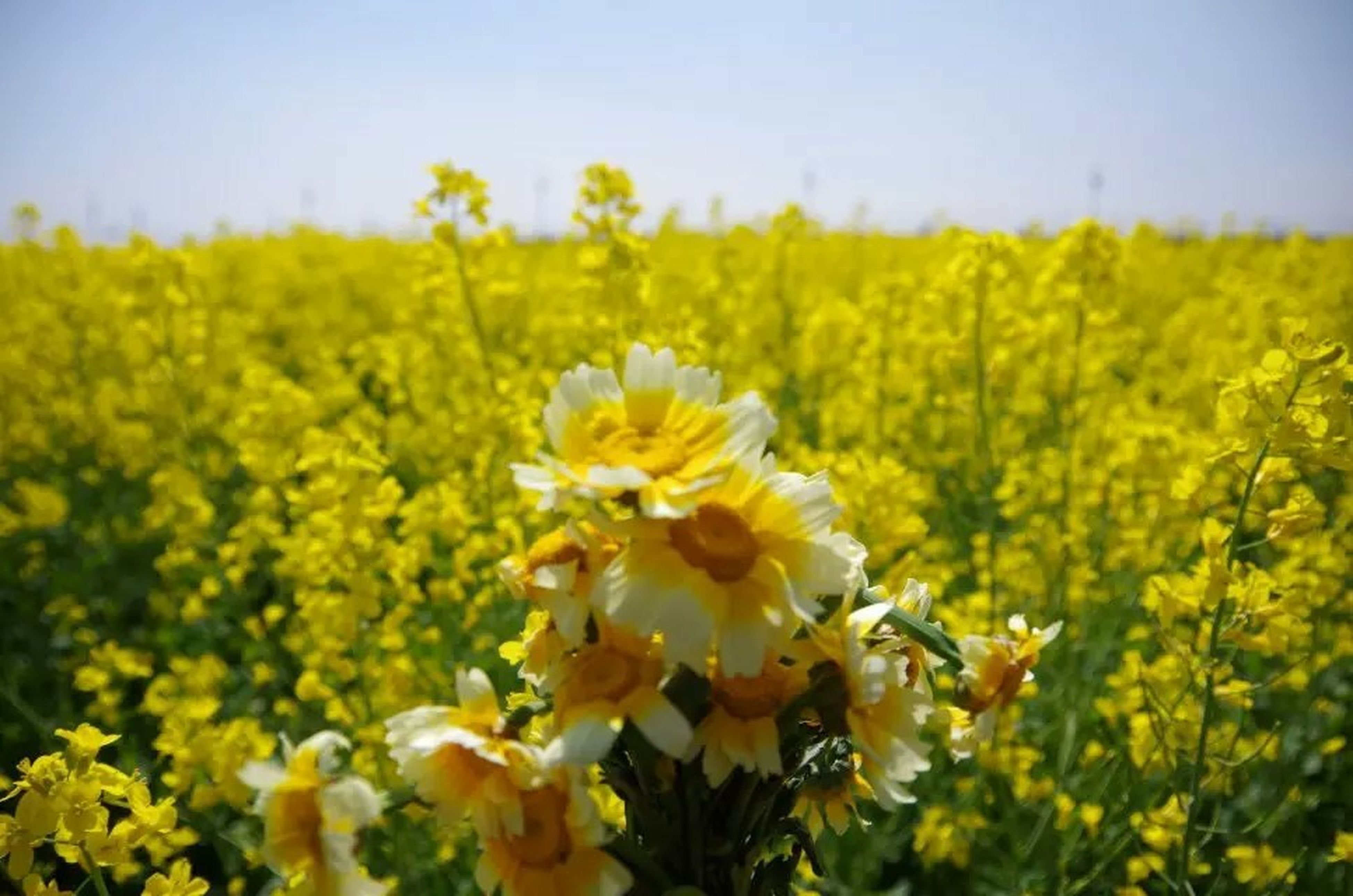 flower, freshness, yellow, growth, fragility, beauty in nature, field, petal, flower head, nature, blooming, plant, rural scene, landscape, clear sky, in bloom, focus on foreground, agriculture, sky, blossom