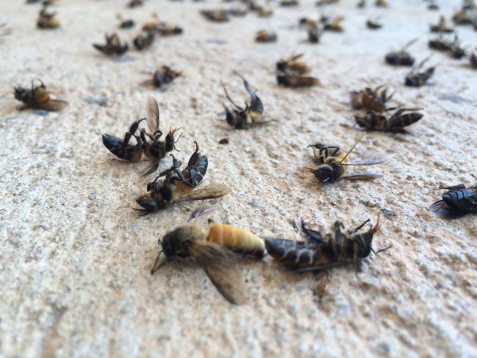 Group of dead bees Animal Themes Animals In The Wild Outdoors Nature Insect Large Group Of Animals No People Animal Wildlife Day Sand Bee Died Dead