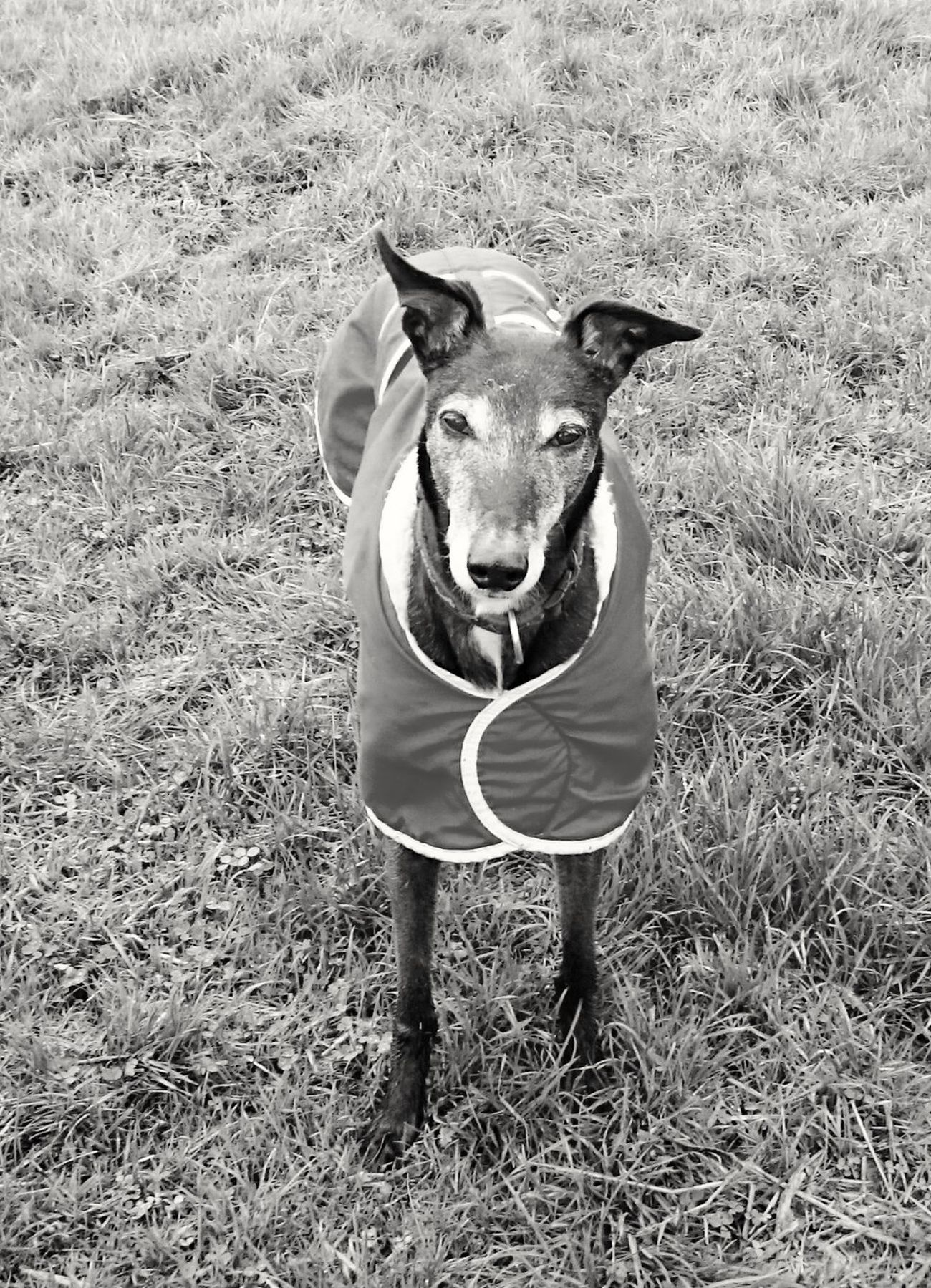Mybestfriend Old Faithful Faithful Dog Faithfulnness Greyhoundb/w Greyhoundlove