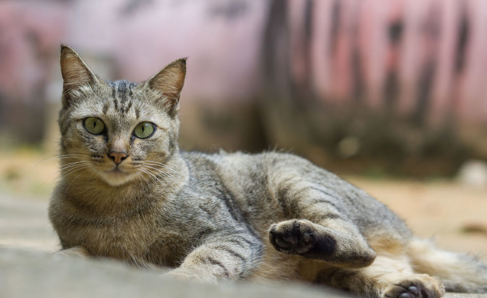 Beautiful gray cat Ginger Beautiful Breed Cat Thailand :) Cute Cat Kitty Moggy Adorable Animal Wildlife Cat Cat Thai Claws Cute Gray Kitten Little Looking Mammal Paw Portrait Pussycat Tabby Three Colors Tiger Whisker