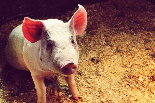 Animal Themes Animal Love Animal Photography🐖 Cochon Natureetanimaux Animaux De Ferme