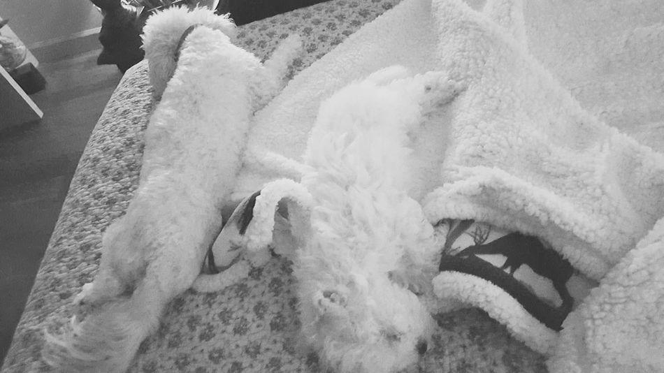 Eyeforphotography Eyeforliving Lovemydogs Morkie Goodfriends EyeEm Eye4photography  Black And White