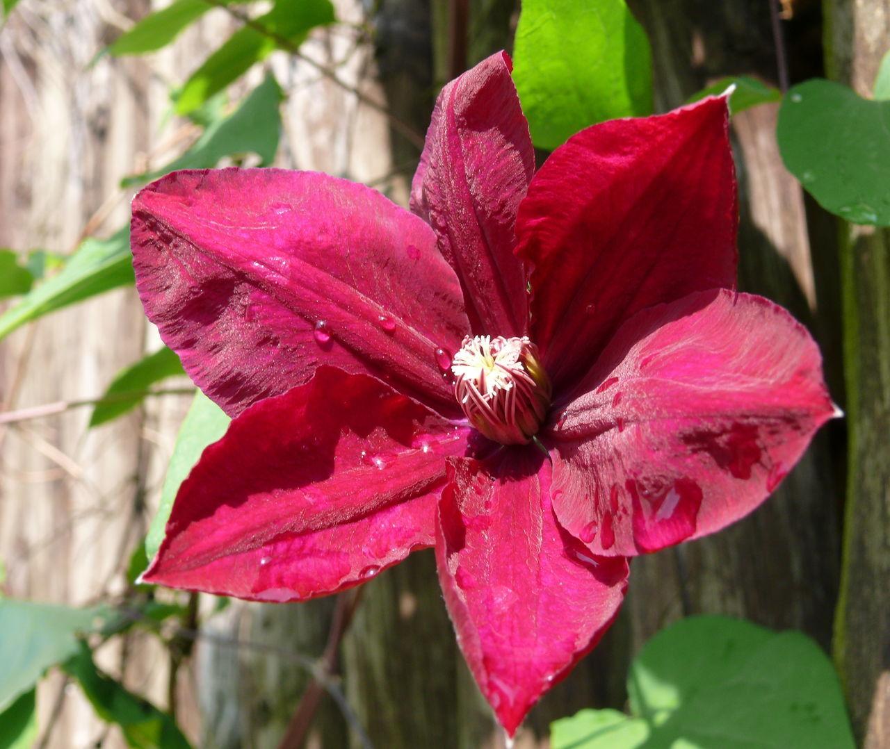 Clematis Clematis Flower Klematis Naturelovers Purple Flower Summerflowers Waldrebe WineRed