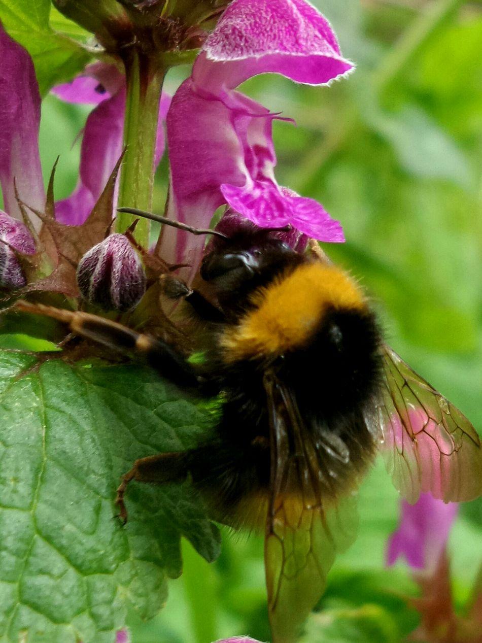 шмель макро макросъемка макро фото макромир Macro Macro_collection Macro Photography Nature_collection Natgeo Nature Photography Bumblebee Nature's Diversities