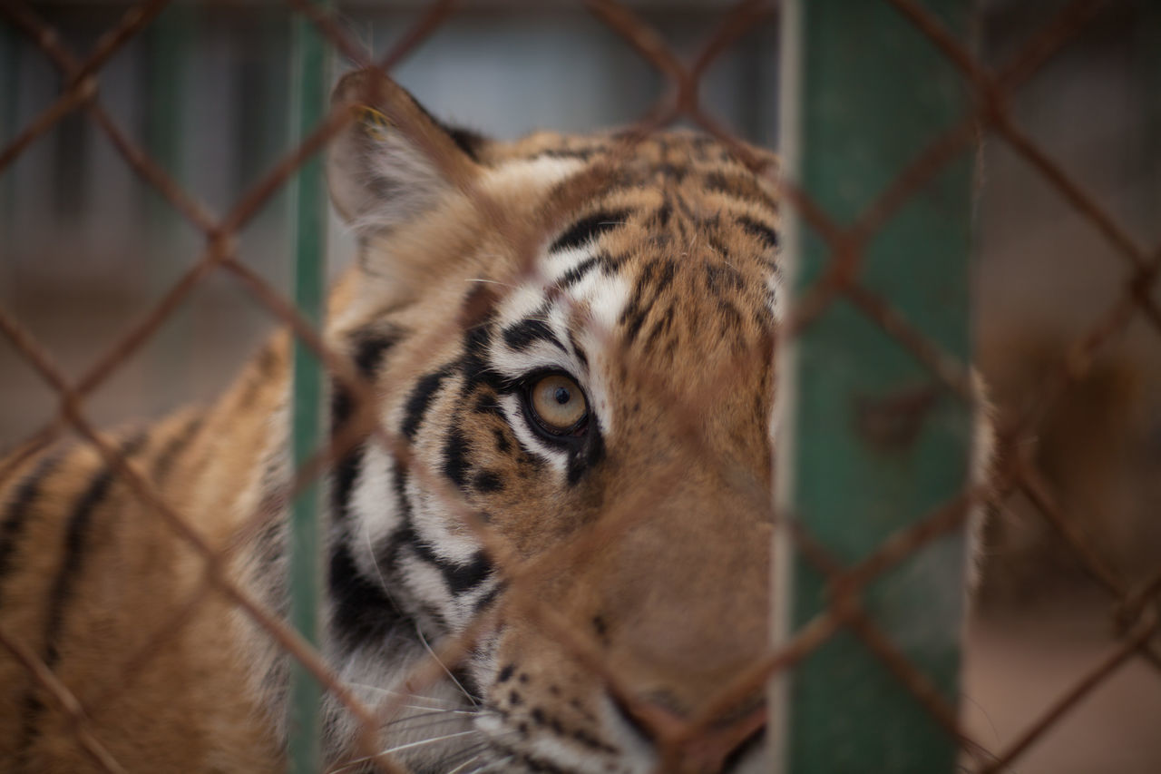 Beautiful stock photos of tiger, Animal Head, Animal Themes, Captivity, Chainlink Fence