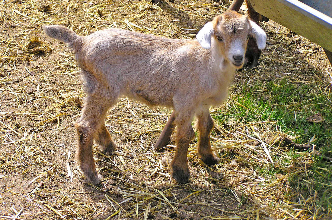 Adorable Animal Animal Themes Beauty In Nature Country Life Day Domestic Animals Farm Farm Animals Farm Life Farming Farmland Goat Goatling Goats Lamb Lovely Mammal Nature No People One Animal Outdoors Young Young Animal