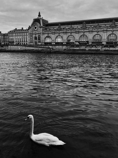 White Swan in Paris 😀 Seine Musée D'Orsay France Water Built Structure River Bird No People EyeEm IPhoneography Moments Nature Bnw Outofthephone IPhoneography Mobilephotography Iphoneonly Blackandwhite Black And White Moment Travel Destinations City Nature