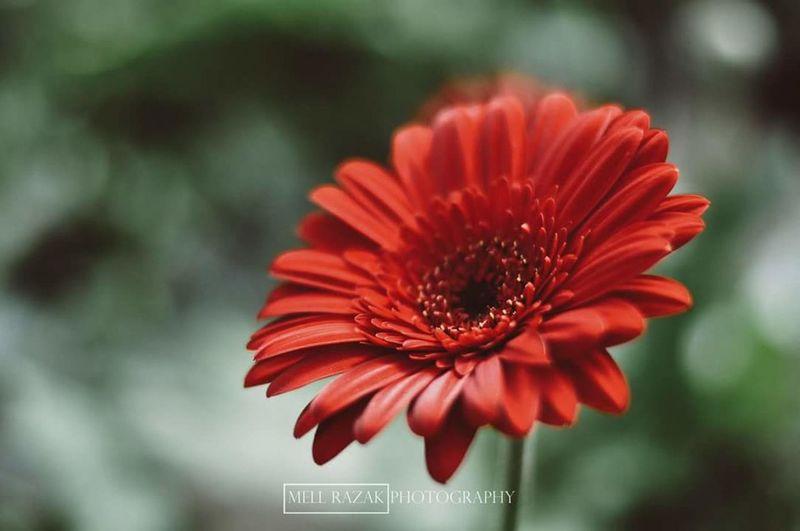 Morning red. Flowers Cameronhighlands Cameron Highlands Vscopahang Vscoperak Vscomalaysia Vscocam VSCO Red Flower Red