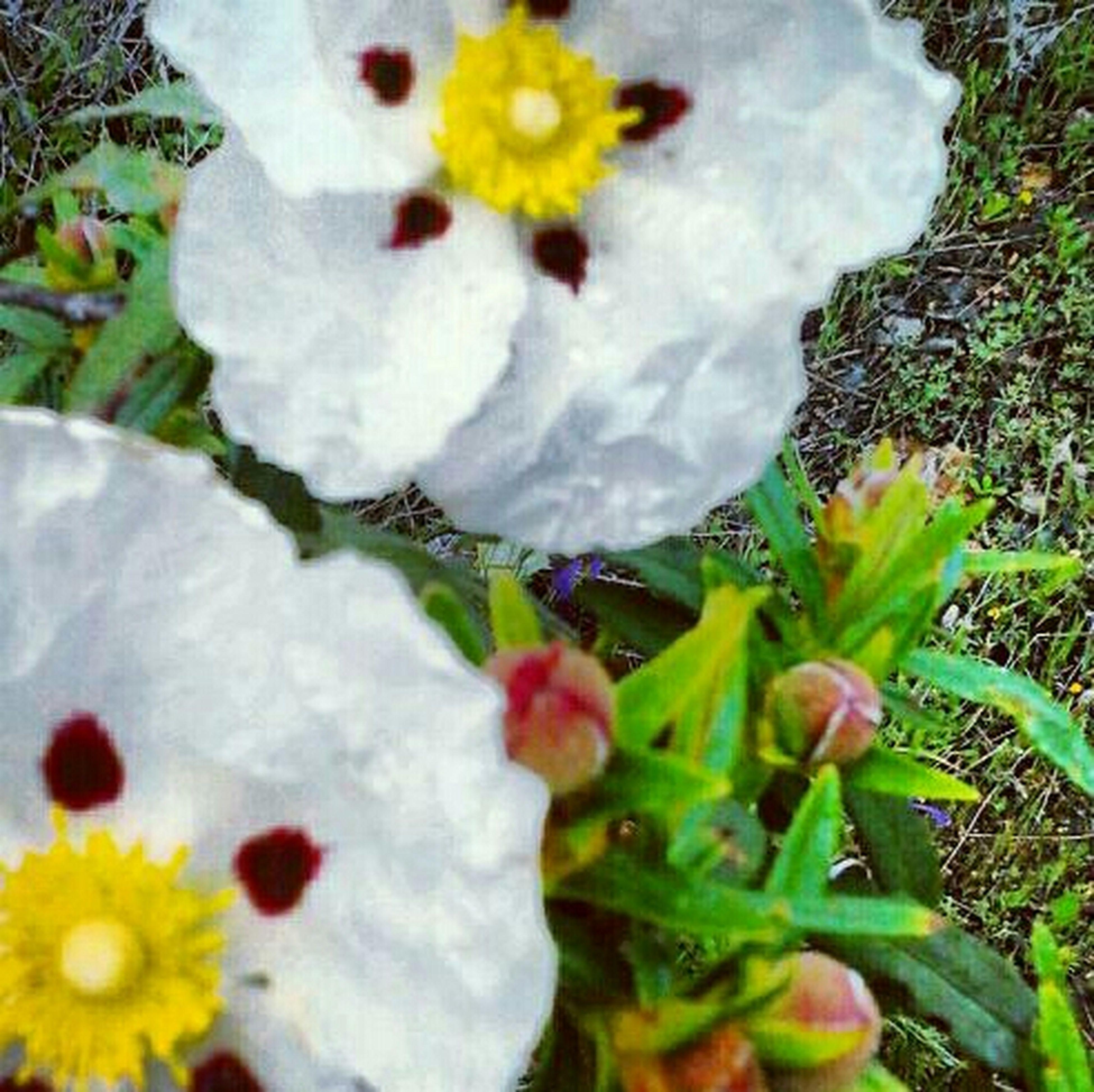 Flor de la Jara Pueblo Aldeanovita