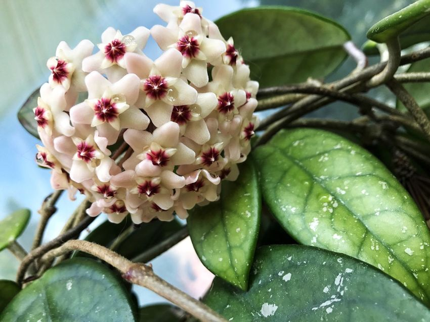 Growth Beauty In Nature Leaf Freshness Nature Day No People Green Color Plant Flower Close-up Outdoors Tree Fragility Food Flower Head Hoya Hoya Carnosa Wax Flower