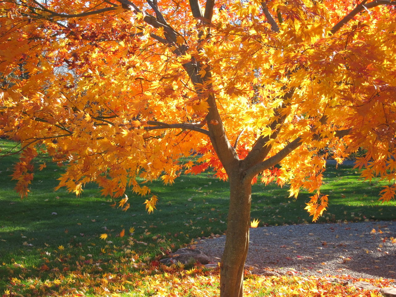 autumn, tree, change, orange color, leaf, nature, beauty in nature, tranquility, scenics, outdoors, tranquil scene, maple tree, branch, growth, no people, day, tree trunk, maple, sky