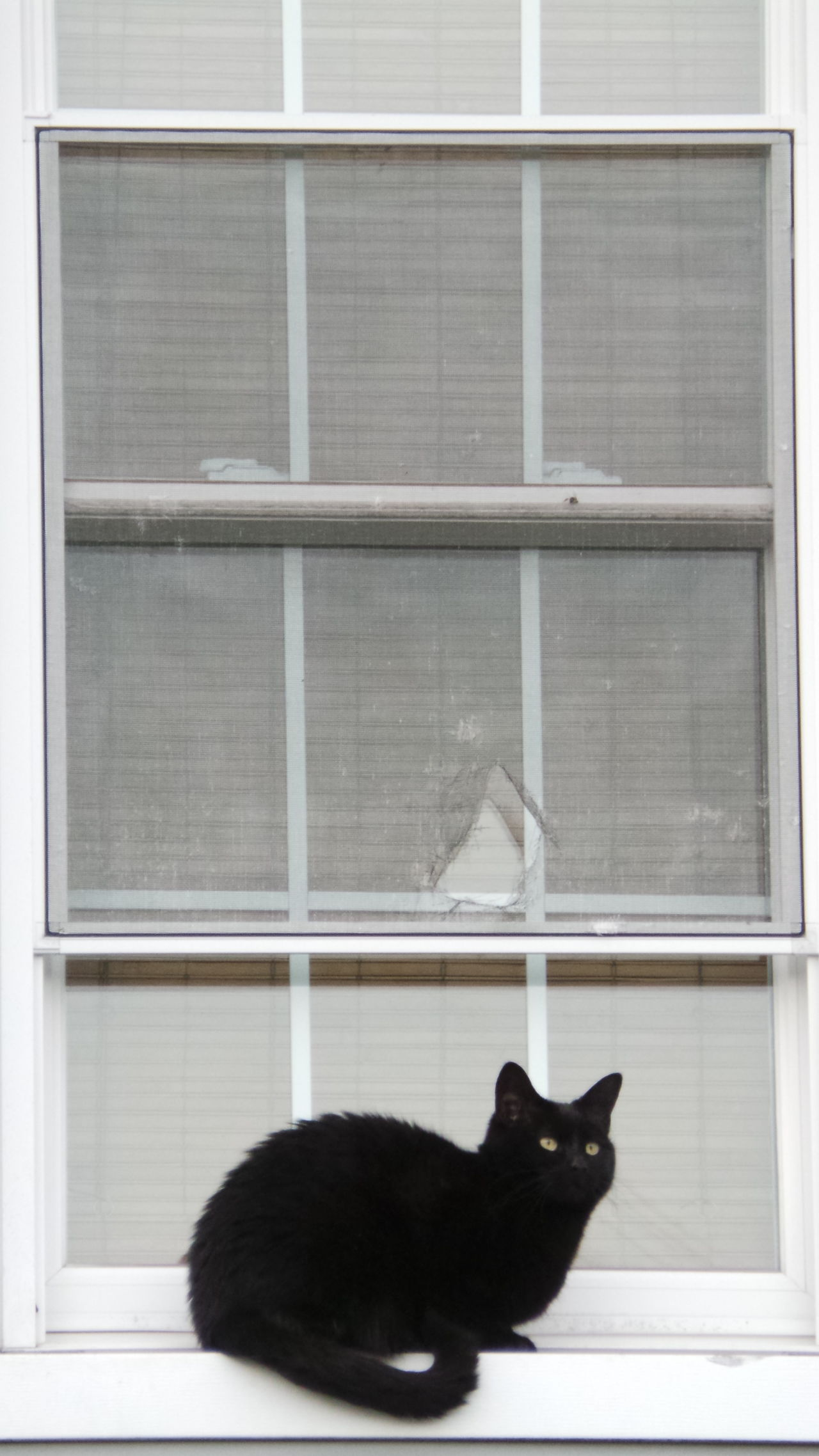 Here Kitty Kitty. 😼😸😺😽 Here Kitty, Kitty!! Two Stories A Cats Life Catoftheday Sitting On The Window Locked Out Screens Clawed Gold Eyes Black Cat Katze Katzenaugen Katzenmama Katze