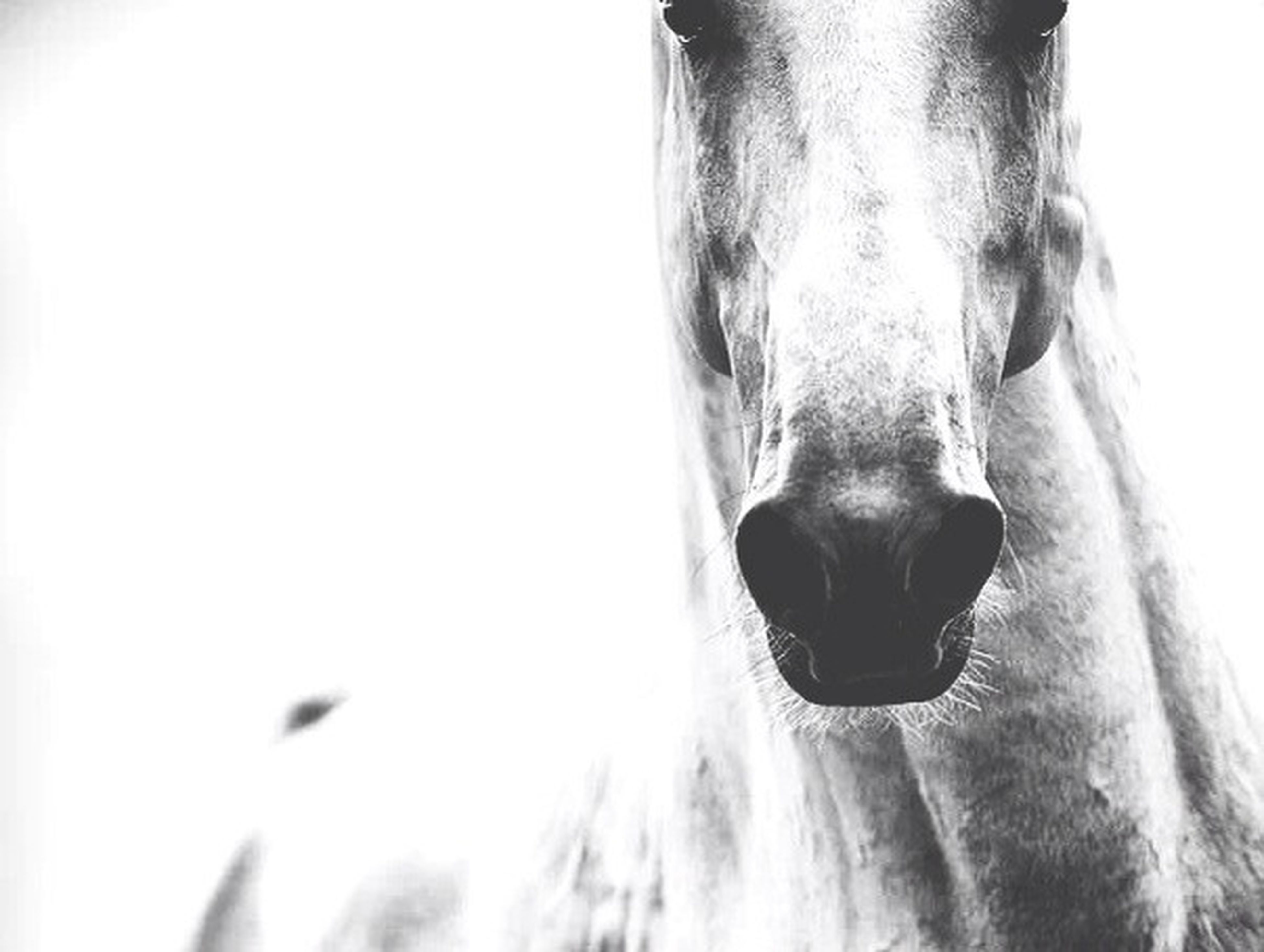 clear sky, close-up, horse, one person, copy space, low angle view, one animal, front view, animal head, studio shot, part of, animal body part, animal themes, portrait, white background, looking at camera, day, headshot, outdoors, side view