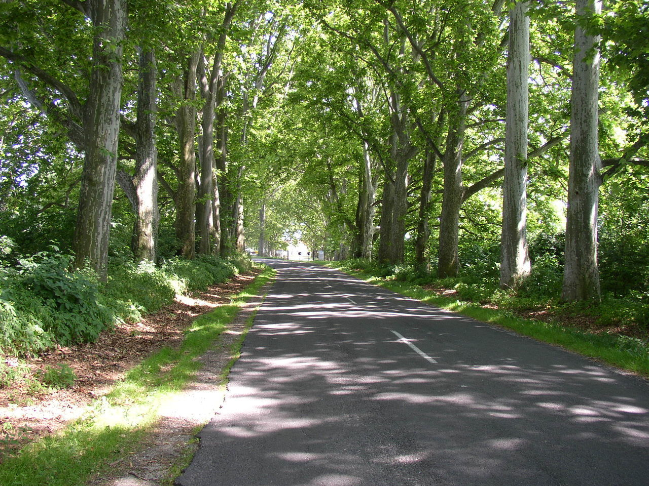 tree, the way forward, road, nature, forest, growth, tranquility, outdoors, tranquil scene, day, tree trunk, single lane road, scenics, no people, beauty in nature