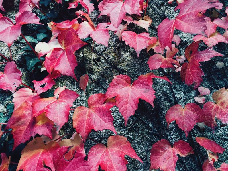Nature Beauty In Nature Fallen Leaves Colorful Leaves In Autumn Leaf Full Frame No People Outdoors Backgrounds Beautiful Garden Autumn Europe Red Wall Freshness Plant Vine Day Colors Leaf 🍂 Photo