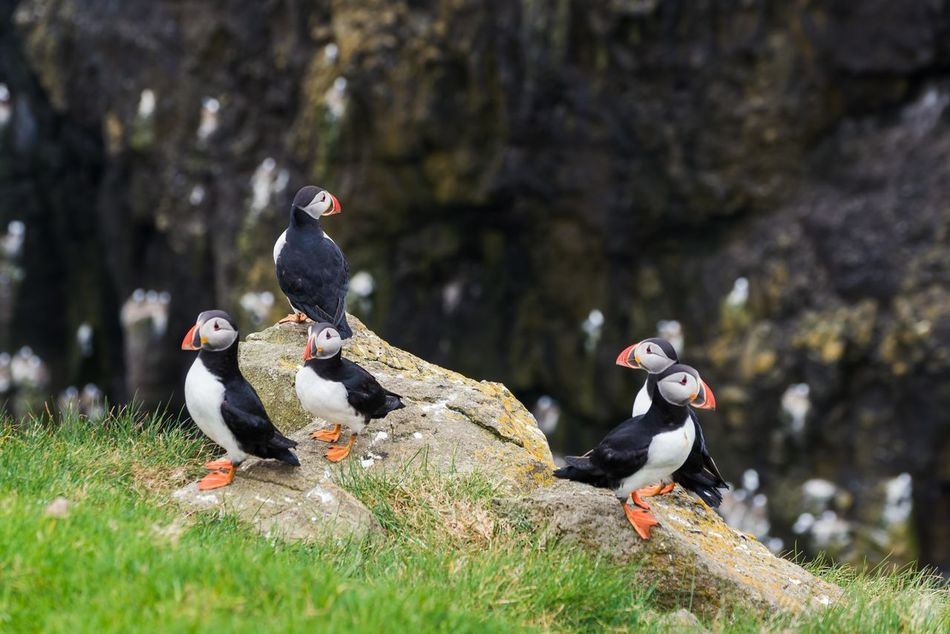 Animal Themes Animal Wildlife Animals In The Wild Atlantic Ocean Beak Bird Close-up Day Duck Female Animal Five Animals Nature No People Outdoors Puffin Puffins Water