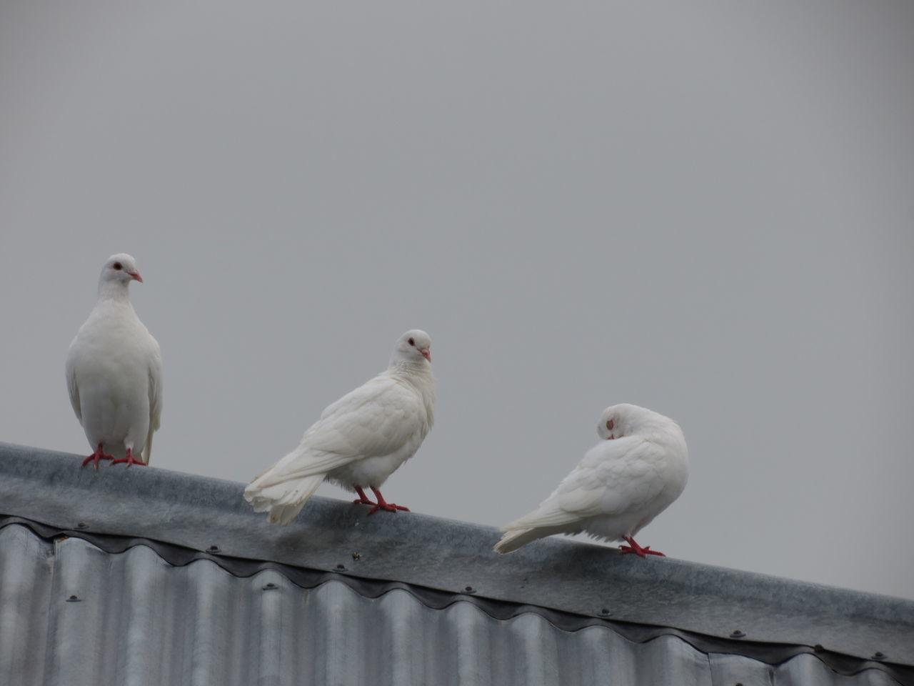 Beautiful stock photos of friedenstaube, bird, animal themes, animals in the wild, perching